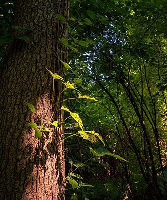 Ray of light penetrates onto a temperate forest, John Heinz Wildlife Refuge, Pennsylvania, USA