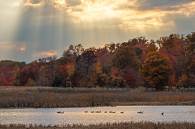Migratory birds in an impoundment during Autumn, Bombay Hook Wildlife Refuge, Delaware, USA