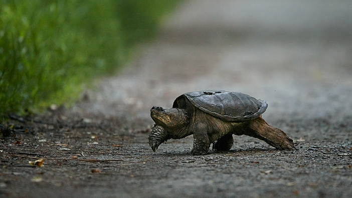 Snapping Turtle (Chelydra serpentina) migrating from one pool to another, John Heinz Wildlife Refuge, Pennsylvania, USA