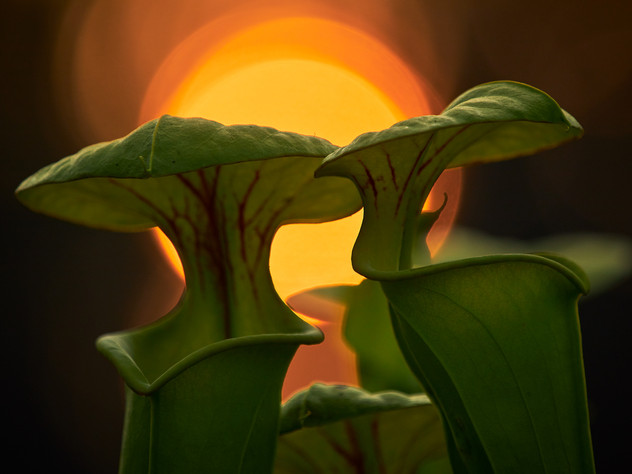 Carnivoreous Plants