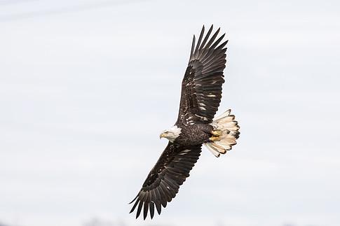 Bald Eagle (Haliaeetus leucocephalus), Conowingo Dam, Maryland, USA