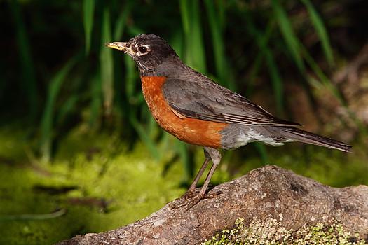 American Robin (Turdus migratorius), John Heinz Wildlife Refuge, Pennsylvania, USA