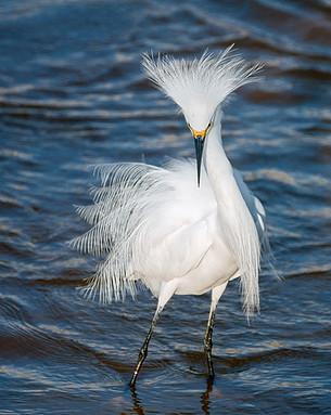 Snowy Egret (Egretta thula) , Bombay Hook Wildlife Refuge, Delaware, USA