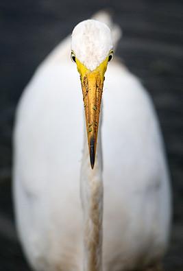 Great Egret (Ardea alba ), John Heinz Wildlife Refuge, Pennsylvania, USA