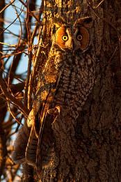 Long-Eared Owl , John Heinz Wildlife Refuge, Pennsylvania, USA