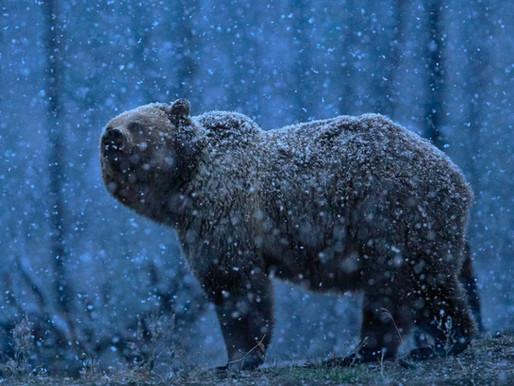 How to Photograph Wildlife in Yellowstone National Park: Fishing Bay Bridge