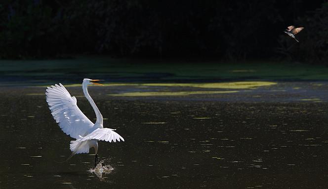 An Eastern Kingbird (Tyrannus tyrannus ) attacks a Great Egret (Ardea alba )as it defends its nest, John Heinz Wildlife Refuge, Pennsylvania, USA