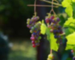 grapes-1659118_1920.jpg