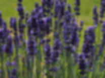 lavender w.jpg