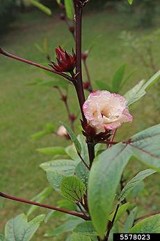 Hibiscus w.jpg