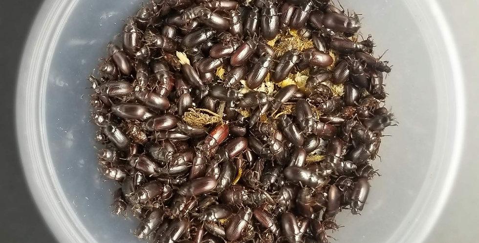 Buffalo Beetle Culture