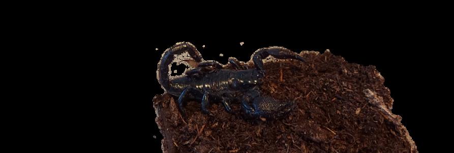 Cave Claw Scorpion