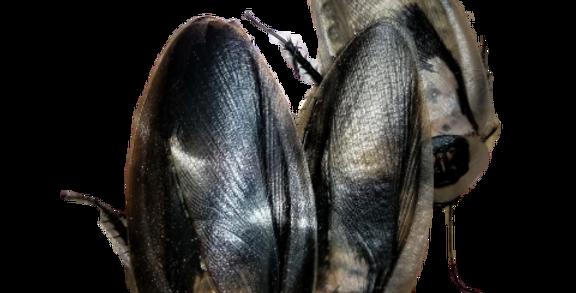 Death Head Hybrids