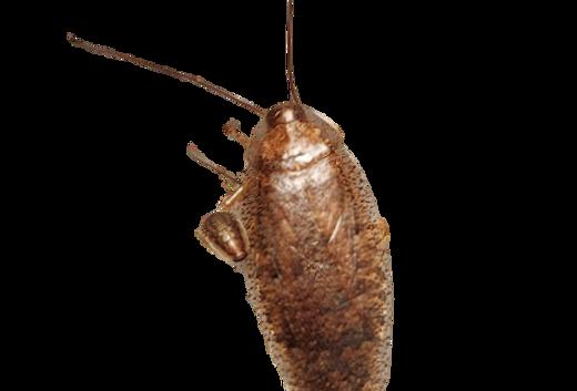 Taiwanese Leaf Roach