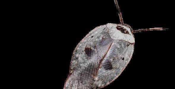 Chrome Roach