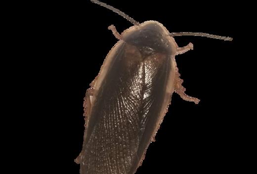 Dubia Roach Care Sheet