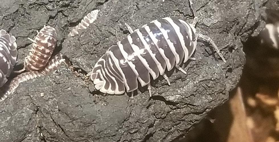 Armadillidium maculatum 'Zebra'