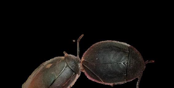 Black Beetle Mimics