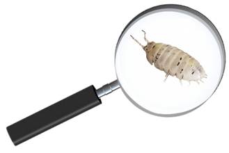 magnifying glass isopod (2).png