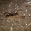 Thumbnail: Israeli Gold Scorpion