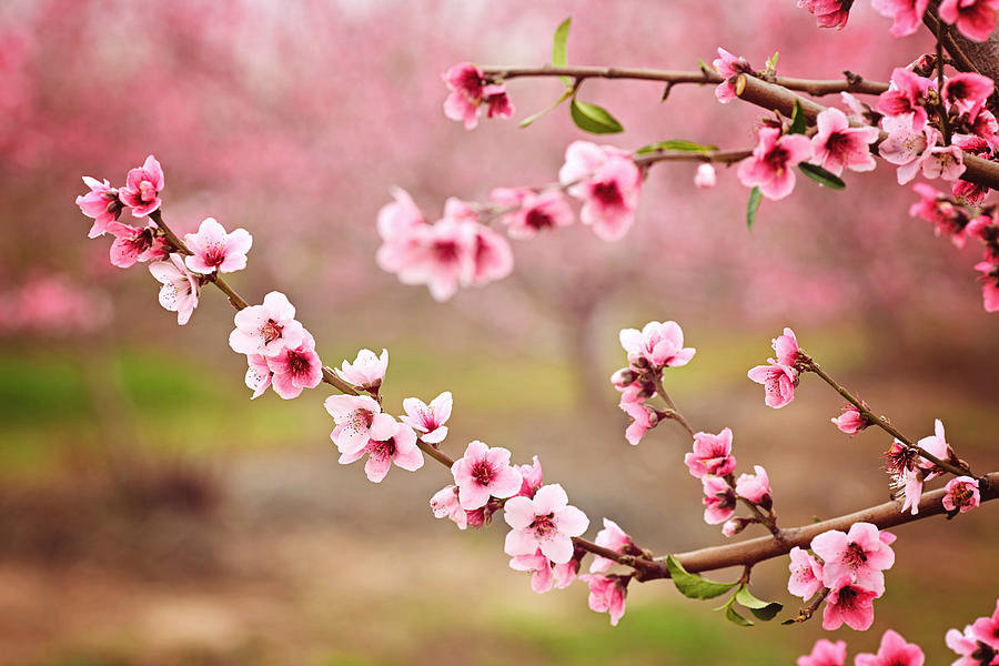 almond-blossom-spring-background-beautif