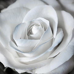 rose-1307443_1920 copia.jpg