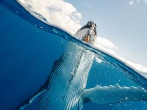 Une baleine vaut 1500 arbres contre le réchauffement climatique
