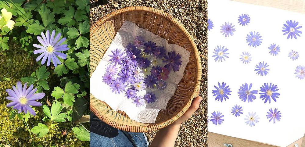 quelles fleurs gardent leur couleur une fois pressées