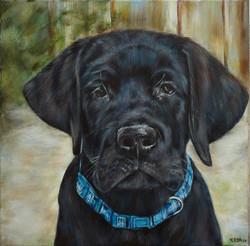 Arlo, een jonge labrador