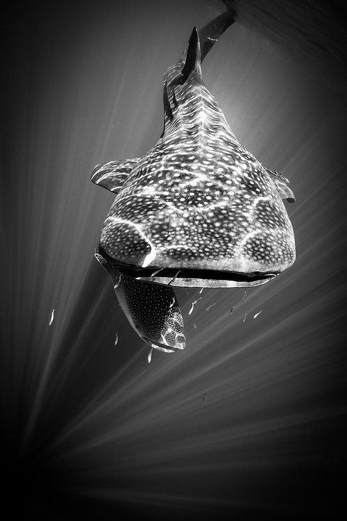 Whale Shark 2, Indonesia