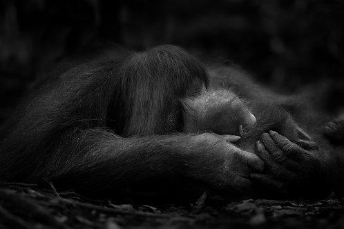 Orangutan Mother and Child, Sumatra