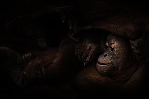 Orangutan Child, Sumatra