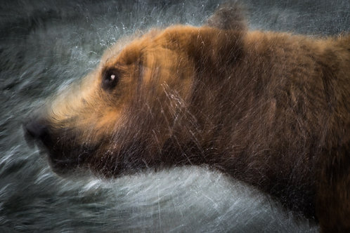 Shaking Bear, Brooks River