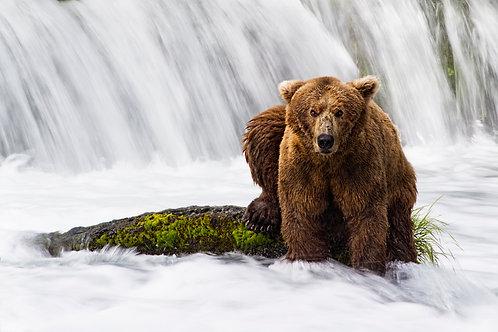 Bear of Brooks Falls