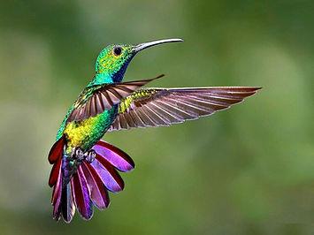 Colibri-en-vol.jpg