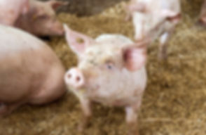 свин.jpg