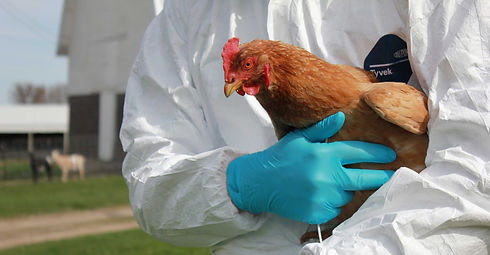 птичий грипп.jpg