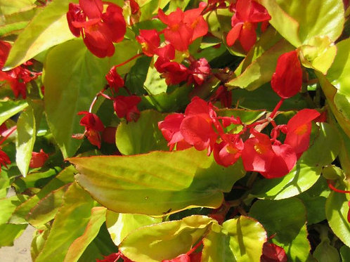 """Begonia 6"""" Container - $8.99"""