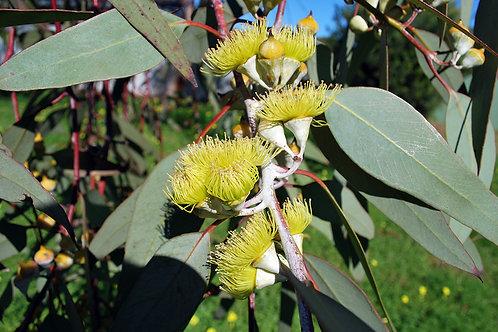 "Eucalyptus 4.5"" Container - $4.49"