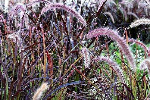 "Grass - Pennisetum Purple Fountain 4.5"" container - $9.49"