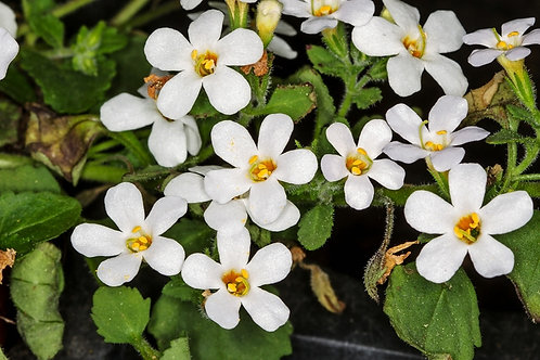 "Bacopa 3.5"" Container - $3.99"
