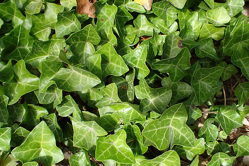 """Hedera 3.5"""" Container - $3.99"""