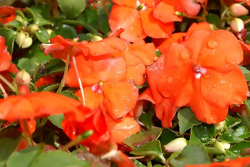 "Impatiens New Guinea 4.5"" Container - $4.49"