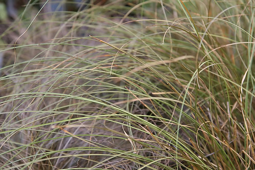 "Grass - Carex Flagellifera Toffee Twist 4.5"" container - $9.49"