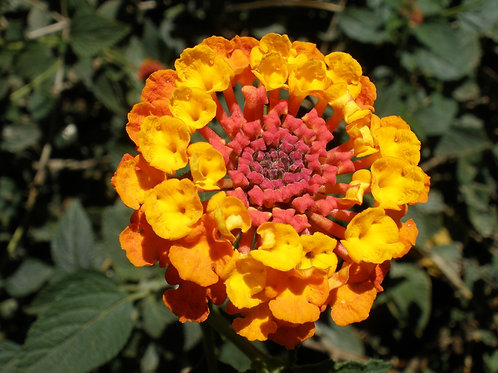 "Lantana 3.5"" Container - $3.99"