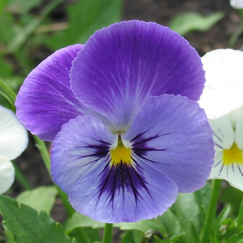 "Pansy 3.5"" Container - $3.99"
