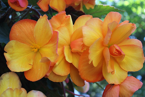 """Begonia 4.5"""" Container - $4.49"""