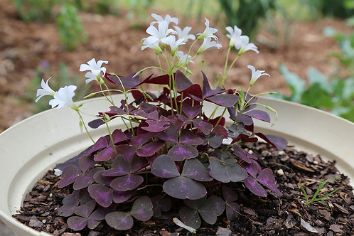 "Oxalis 4.5"" Container - $4.49"