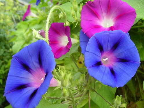 """Morning Glory 6"""" Container - $9.99"""
