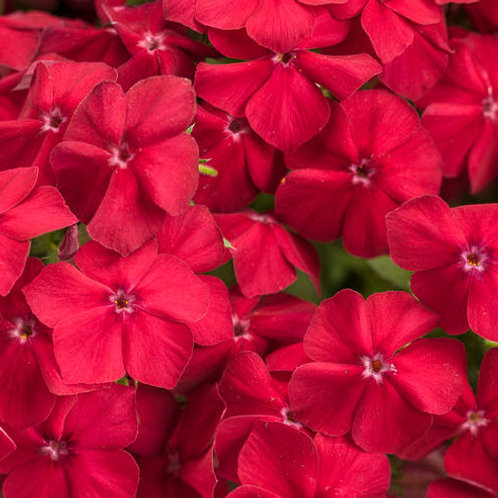 """Phlox 4.5"""" Container - $4.49"""